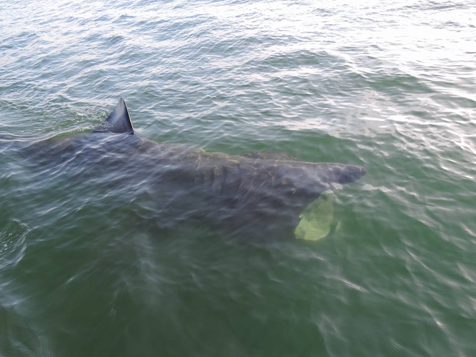 Basking Shark Sligo